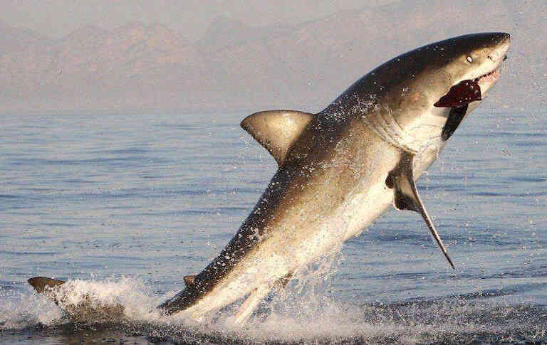 Акула поймала тюленя