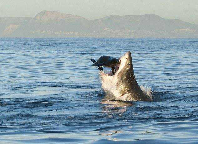 Акула охотится на тюленя