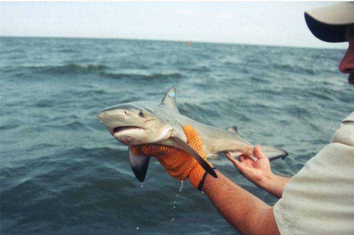 Детёныш тупорылой акулы