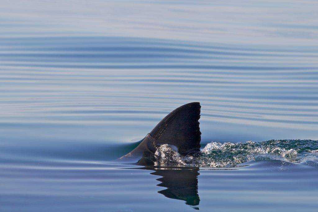 Плавник белой акулы