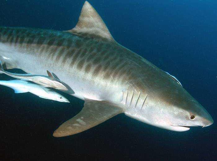Тигровая (леопардовая) акула